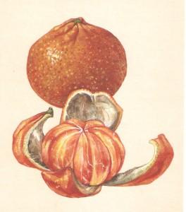 English Botanical Orange f016