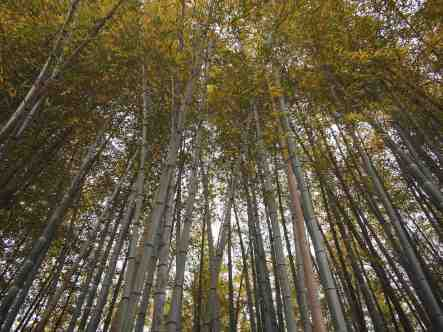 Bamboo Groves