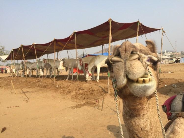 camel horses