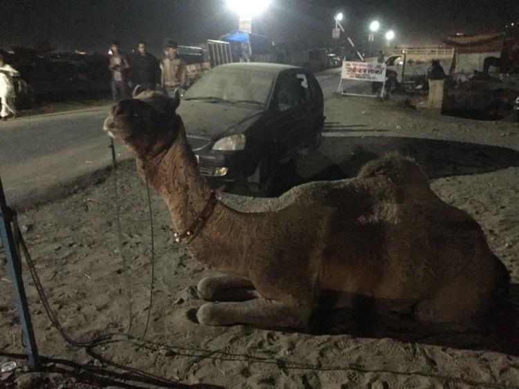 camel nighit