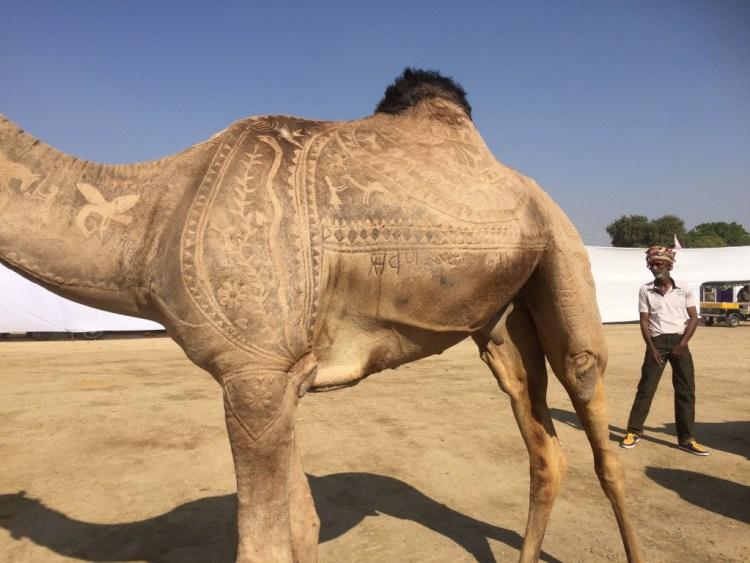fur cutting camel