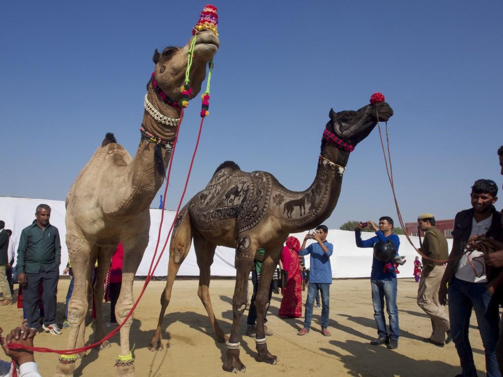 camel festival