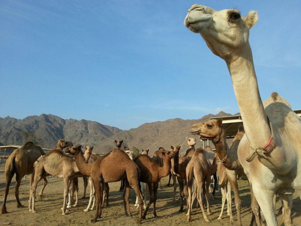 camels in uae
