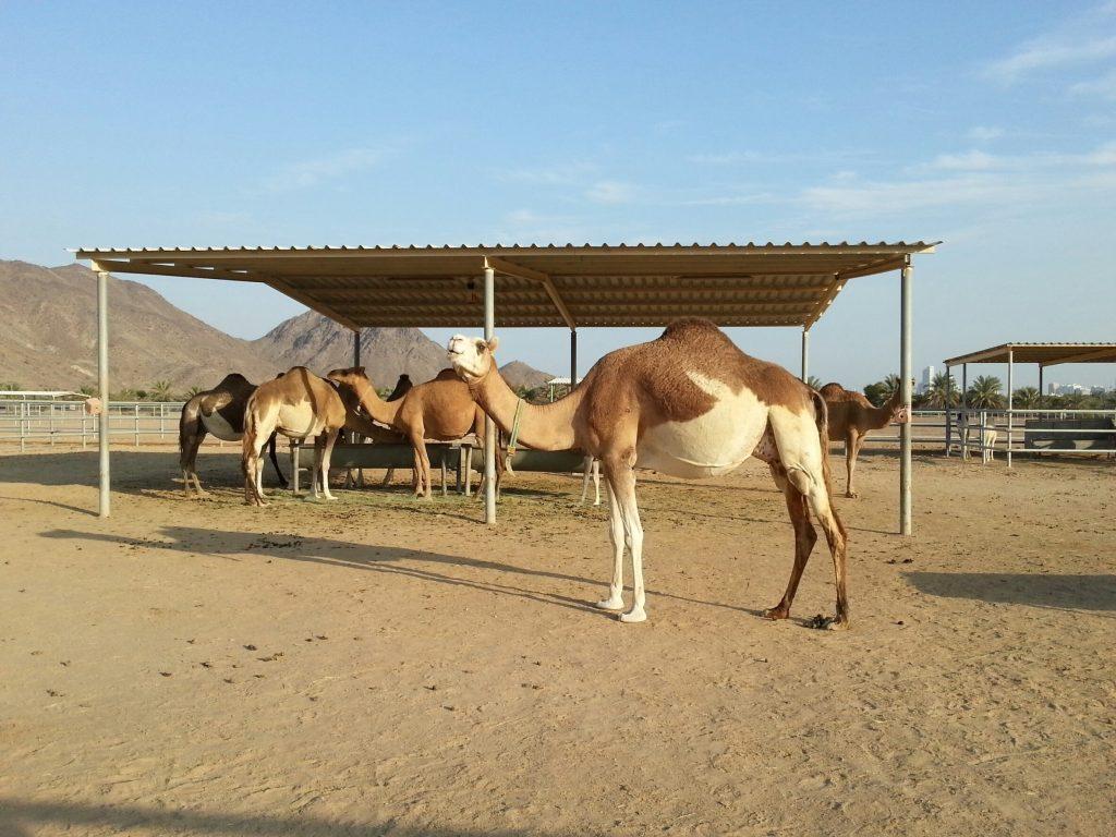 doble color camel