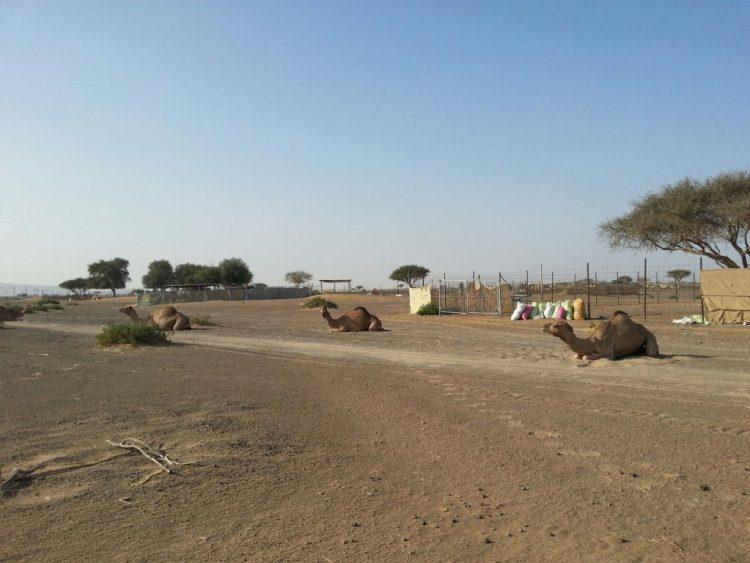 camel farm dubai