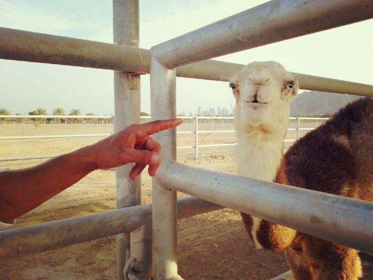 camel baby