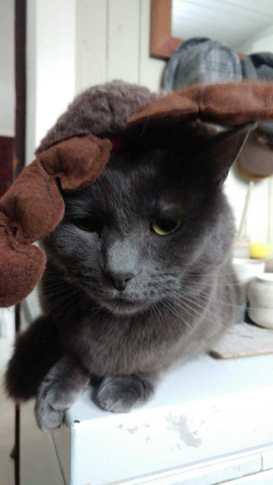 grey cat in christmas antlers