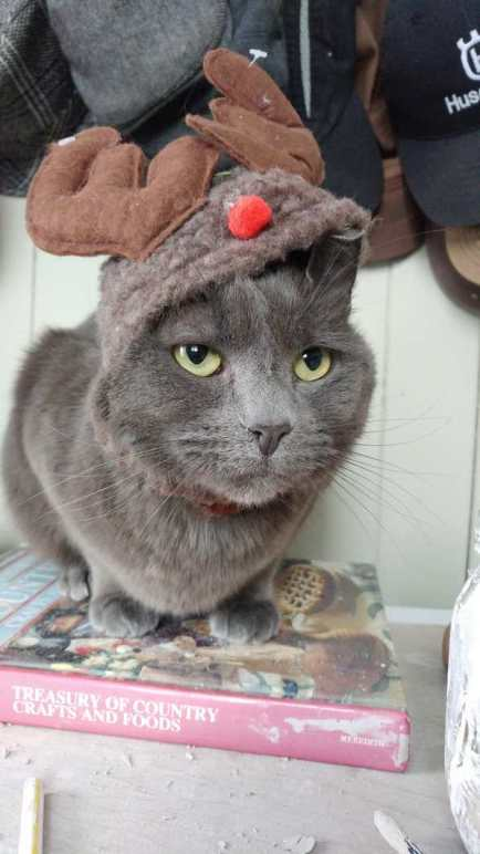 grey cat wearing antlers for Christmas