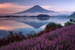 河口湖自由行-河口湖薰衣草祭-在富士山下看紫色花海的美景