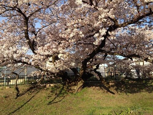 高槻の桜の名所