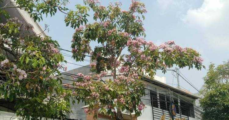 bunga tebabuya