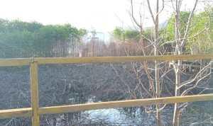 Hutan Manggrove milik Pemko Sibolga yang mati. Foto: istimewa