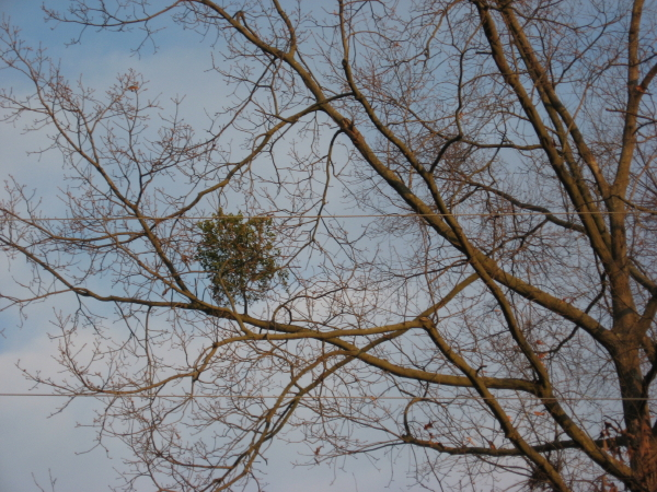 Mistletoe at Oakwood Cemetery