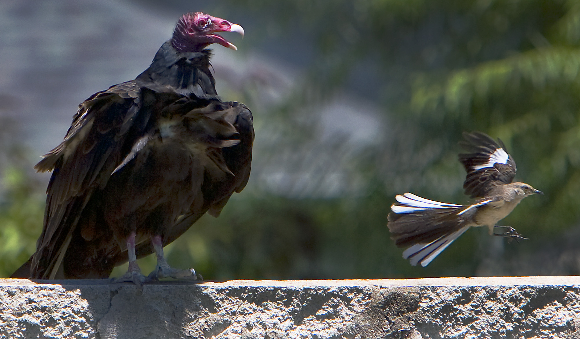 Turkey Vulture Vs Mockingbird