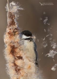 Black-capped Chickadee In Winter- Mircea Costina