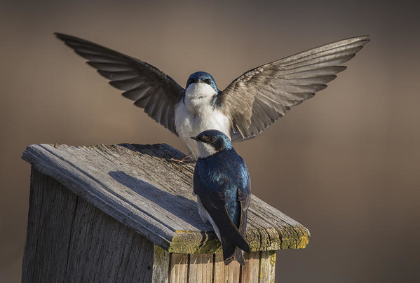 Tree Swallows - Mircea Costina