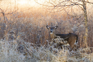 Sunshine Deer- Mircea Costina