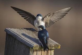 Tree Swallows - Mircea Costina