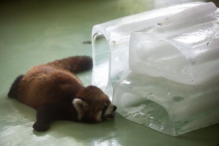 Panda rosu racorindu-se