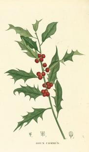 English holly, from 'Traité des arbres forestiers..' by Jean-Henri Jaume de Saint-Hilaire