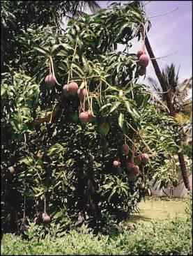 maui_mango_tree_l