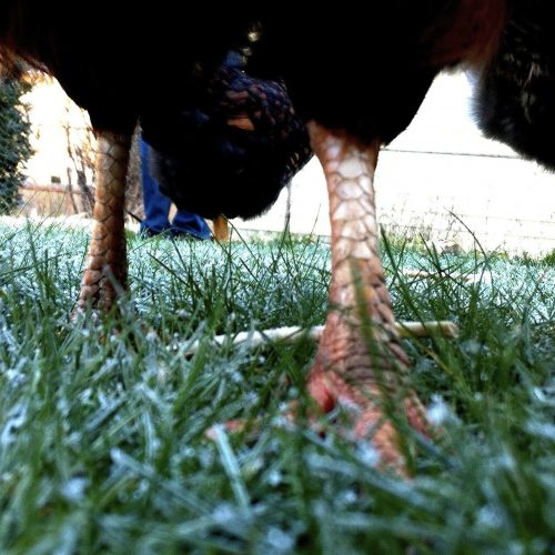 Chicken Feet Walking