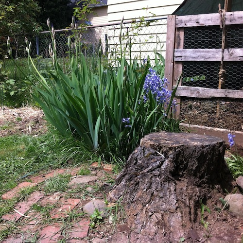 Compost Bin and Iris