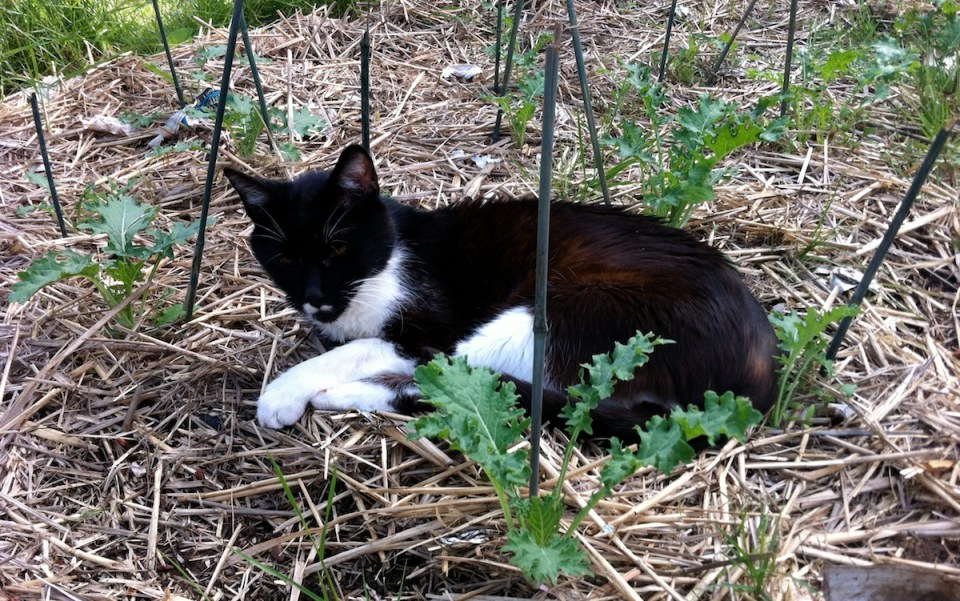 Cat in Garden on Soaker Hose
