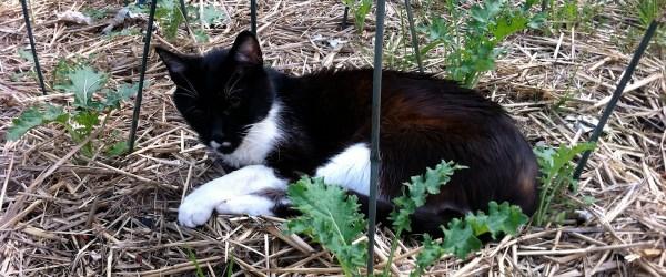 Cat on Sheet Mulch Among Seedlings