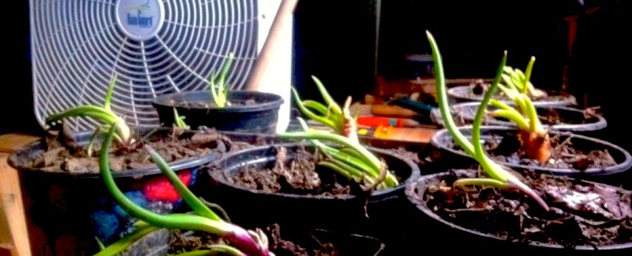 Alien Onions