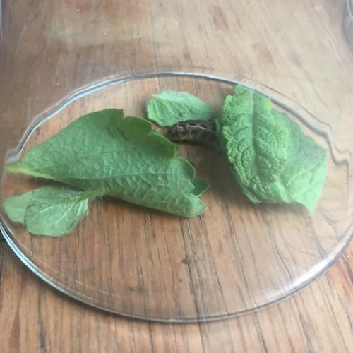 Caterpillar Under a Glass