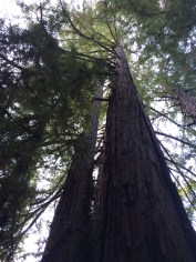 The redwoods are very tall.