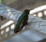 Stunned hummingbird. He flew away after resting for awhile.