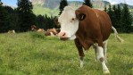 An Open Letter from Maude, the Farting Cow