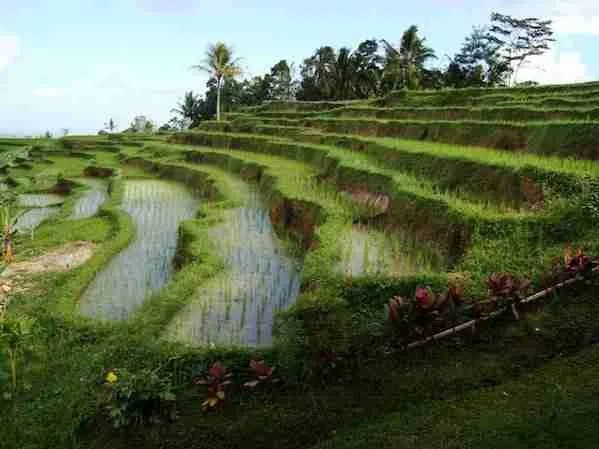 Rice terraces Facts Bali