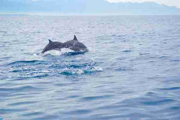 Dolphins Facts Bali