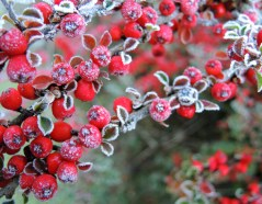 cotoneaster-3