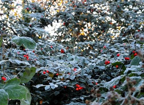 frosty-berries