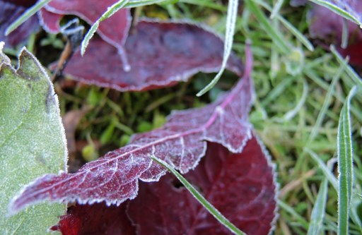 frosty-leaves-3