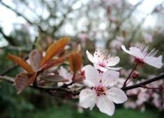 blossom-leaves