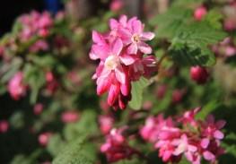 flowering-currant-2