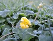 frosty-buttercups-3