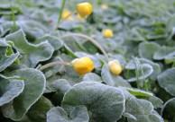photo of frosty celandines