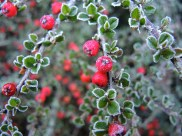 frosty-cotoneaster