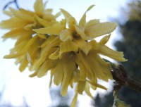 frosty-yellow-blossom