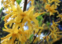 yellow-blossom