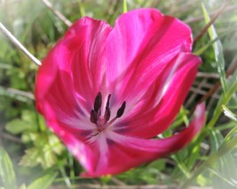 red-tulip-opening