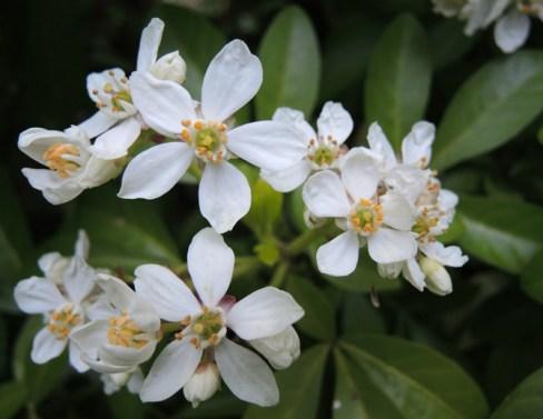 white-blossom