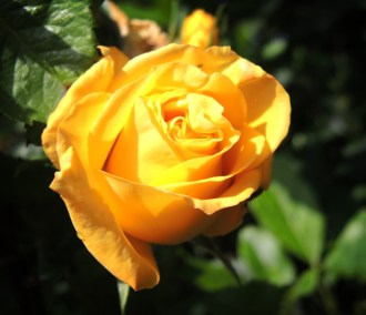 yellow-rose-3