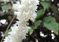bee-white-blossom-1